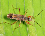 Guyana Dirt-colored Seed Bugs - Rhyparochromidae