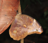 Xanthicles Owl-Butterfly - Catoblepia xanthicles