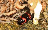 Erotylidae: Pselaphacus rubricatus