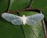 Mysidia sp.
