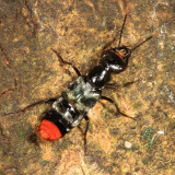 Rove Beetle - Staphylinidae