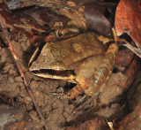 Leptodactylus mystaceus