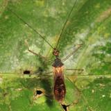 Harpactorinae - Repipta lepidula