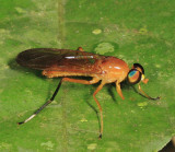 Ptecticus sp. (probably P. testaceus)