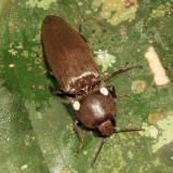 Glowing Click Beetle - Pyrophorini