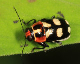 Case-bearing Leaf Beetle