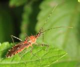 Pselliopus punctipes (Harpactorinae)