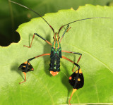 Guyana Leaf-footed Bugs - Coreidae