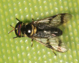 Deer Fly - Chrysopsinae
