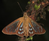 Common Phanus - Phanus marshalli