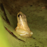 Golden Poison Dart Frog - Colostethus beebei