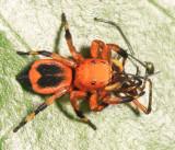 Guyana Jumping Spiders