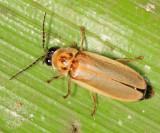 Firefly - Lampyridae