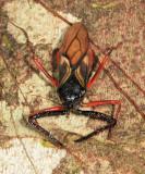 Manicocoris rufipes (Harpactorinae: Apiomerini)