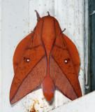 Boisduval's Horned Devil - Adeloneivaia boisduvali