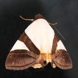 Eulepidotis dominicata