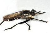 Eicherax sp. (male)