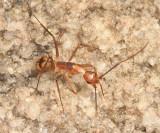 Camponotus substitutus and/or C. zonatus