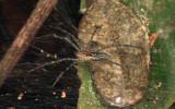 Aglaoctenus castaneus (Lycosidae: Sosippinae)