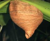 Angiopolybia pallens (nest)