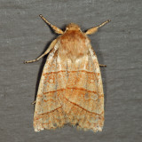9930 - Citrine Sallow - Pyreferra citrombra