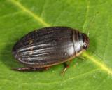 Acilius semisulcatus