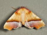6842 – Straight-lined Plagodis – Plagodis phlogosaria