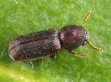 Prostephanus punctatus