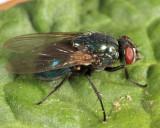 Eudasyphora sp.