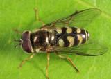 Dasysyrphus intrudens species complex