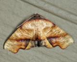 6843 – Fervid Plagodis Moth – Plagodis fervidaria