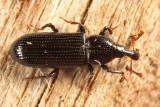Cossonus platalea