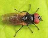 Chrysosyrphus versipellis (male)