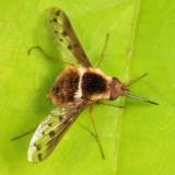 Pygmy Bee Fly - Bombylius pygmaeus