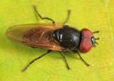 Chrysosyrphus versipellis