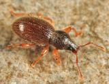 Hairy Spider Weevil - Barypeithes pellucidus