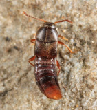 Thiasophila sp.