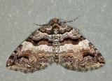 7329 - Variable Carpet - Anticlea vasiliata