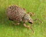 Cathormiocerus aristatus