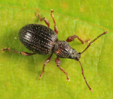 Strawberry Root Weevil - Otiorhynchus ovatus