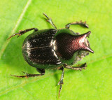 Onthophagus orpheus (male)