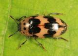 Pleasing Fungus Beetles - Erotylidae