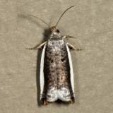 3387 - White-edged Ancylis - Ancylis albacostana