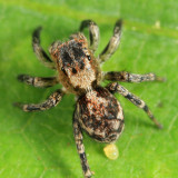 Jumping Spiders - Genus Naphrys