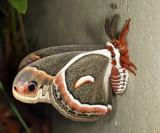 7767 - Cecropia Moth - Hyalophora cecropia