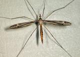 Tipula caloptera