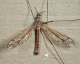 Tipula dorsimacula