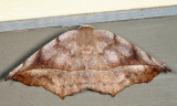 6966 - Curve-toothed Geometer - Eutrapela clemataria