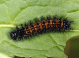 Baltimore Checkerspot caterpillar on turtlehead - Euphydryas phaeton