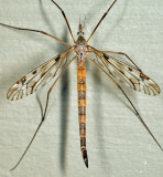 Tipula longiventris (female)